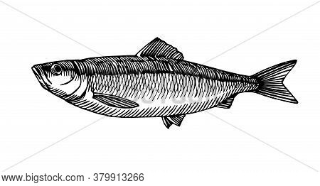 Atlantic Herring, Commercial Fish, Delicious Seafood, Engraving, Sketch, For Logo Or Emblem, Vector