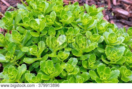 The Sunshine Glistens Off The Bright Treen Foliage Of A Pretty Sedum Plant Which Has Not Yet Started
