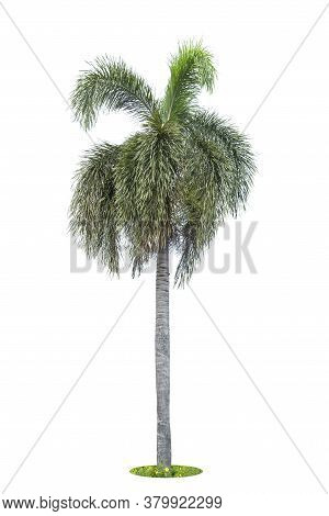 Palm, Palm Trees Isolated Tree On White Background , The Collection Of Trees.large Trees Are Growing