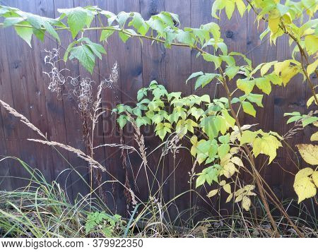 Autumn Shrub And Grass Against The Dark Wooden Fence