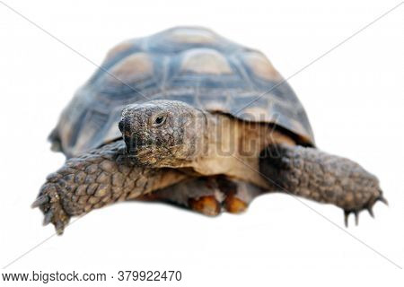 Tortoise. Turtle.  Isolated on white. Room for text.