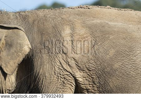 Close Up Of An Old Elephant And Their Wrinkly Skin