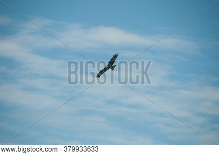 Brown Wild Arab Desert Eagle Hawk Falcon (peregrinus Plumage) Bird Flying And Spreading Wings Over B