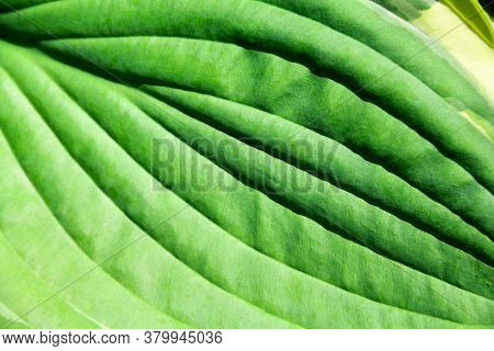 Hosta Leaf Close Up. Contrast Image. Vegetable Texture With Low Depth Of Field. Hard Shadows From Th