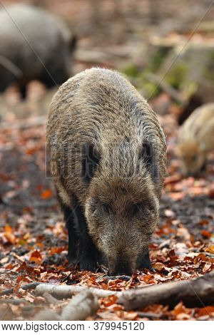 The Wild Boar (sus Scrofa), Also Known As The Wild Swine Or Eurasian Wild Pig Looking For Food On Th