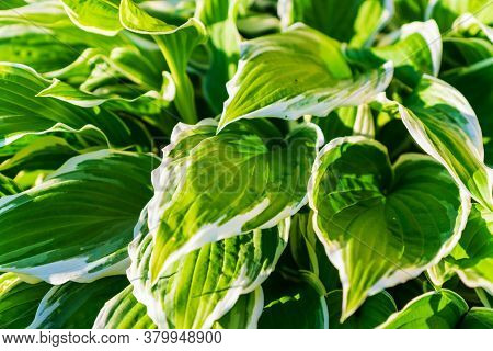 Close Up Of Young Spring Leaves Of Hosta Plant With Flower Buds. Green Fooliage Background