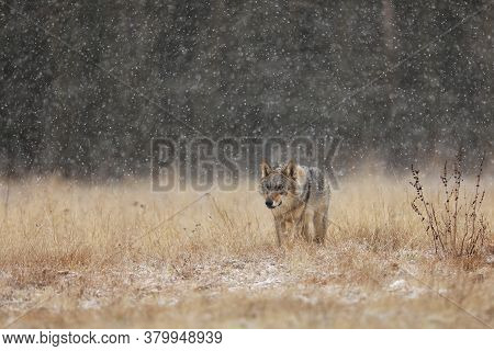 Gray Wolf (canis Lupus) In Taiga In Snowy Winter Day. Animal In Nature Habitat. Animal Looking For P