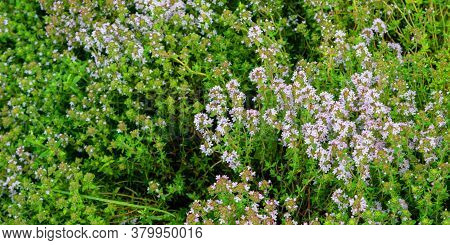 Green Thick Alyssum Thicket With Small White Flowers Grows In Country House Garden Under Bright Sunl