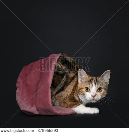 Pretty American Shorthair Cat Kitten With Amazing Pattern, Laying In Pink Tilted Velvet Basket. Look