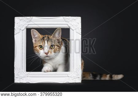 Pretty American Shorthair Cat Kitten With Amazing Pattern, Stepping Through White Photo Frame. Looki