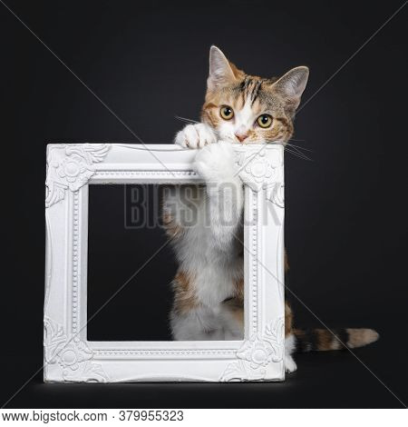 Pretty American Shorthair Cat Kitten With Amazing Pattern, Hanging Naughty In White Photo Frame. Loo