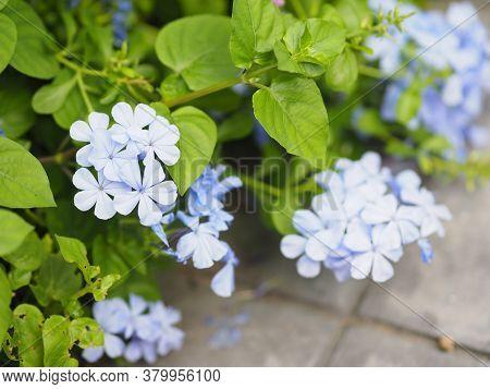 Plumbago Auriculata Lamk Plumbaginaceae Leadwort, Capensis Thunb Indigo Or Blue Color Flower Bloomin
