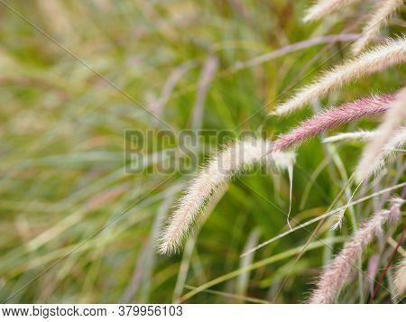 Gramineae, Setaria Verticillate, Panicum Verticillatum, Flower, Booming, Nature, Background, Meadow,