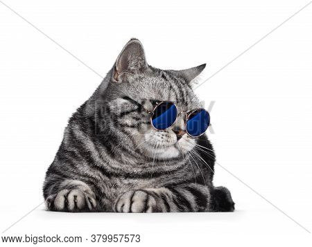 Handsome British Shorthair Cat, Laying Down Facing Front. Wearing Glasses With Blue Glass, Head Turn