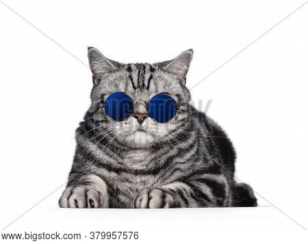 Handsome British Shorthair Cat, Laying Down Facing Front. Wearing Glasses With Blue Glass. Isolated