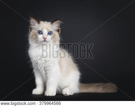 Impressive Seal Bicolor Ragdoll Cat Kitten, Sitting Side Ways. Looking At Camera With Mesmerising Bl