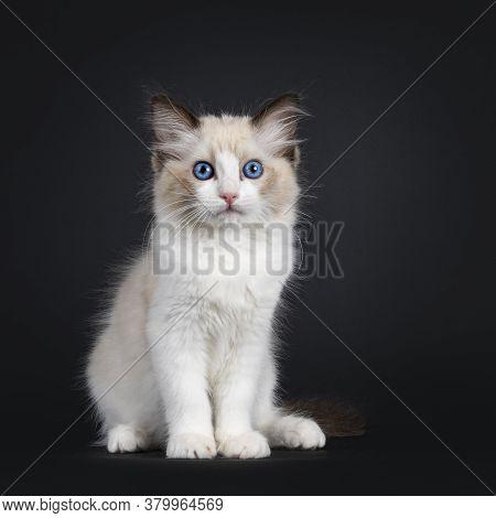 Impressive Seal Bicolor Ragdoll Cat Kitten, Sitting Facing Front. Looking At Camera With Mesmerising