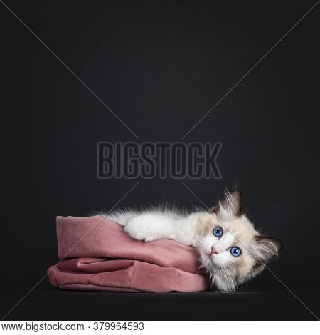 Impressive Seal Bicolor Ragdoll Cat Kitten, Laying Down Over Edge Of Pink Velvet Bag. Looking At Cam