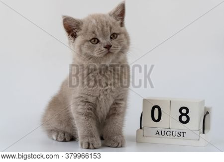 British Shorthair Cat, Felis Catus. Cat Smoky Colour. Small Cute Kitten Is Sitting Next To The Calen