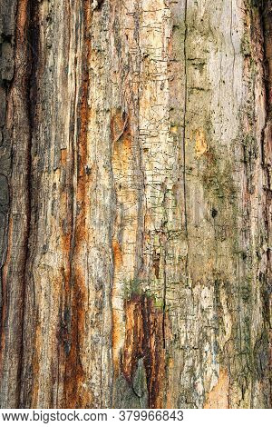 Tree Trunk Without Bark With Traces Of Wood Beetles. Natural Old Wooden Texture With Traces Of Pests