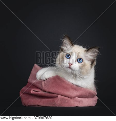 Impressive Seal Bicolor Ragdoll Cat Kitten, Laying In Pink Velvet Bag. Looking At Camera With Mesmer