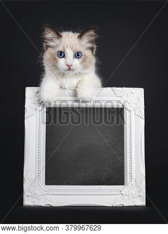 Impressive Seal Bicolor Ragdoll Cat Kitten, Looking Over Edge Of Chalkboard Filled Photo Frame. Look
