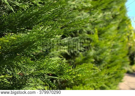 Branches Of Green Thuja. Selective Focus On The Branches Of An Evergreen Coniferous Tree. Photo On T