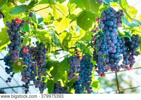 Vineyards At Sunset In Autumn Harvest. Ripe Grapes In Fall. Blue Ripen Bunches. Rays Of The Setting
