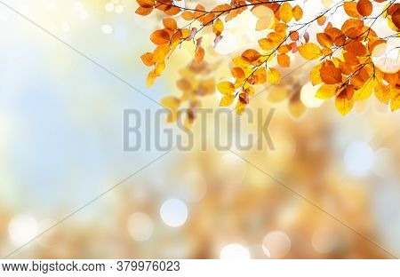 Fresh Yellow Maple Fall Tree Foliage On Pale Cloudy Sky And Blured Sky Background
