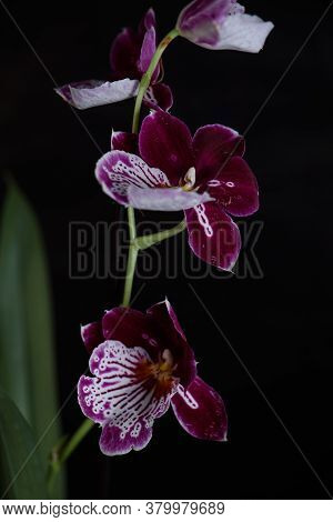 Houseplant Phalaenopsis On A Black Background In A Wicker Pot