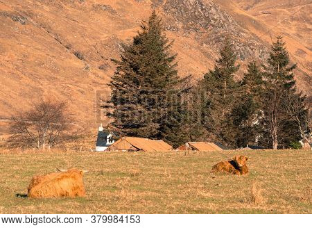 Highland Cow Stood In A Scottish Meadow Showing A Curious Interest In Its Surroundings