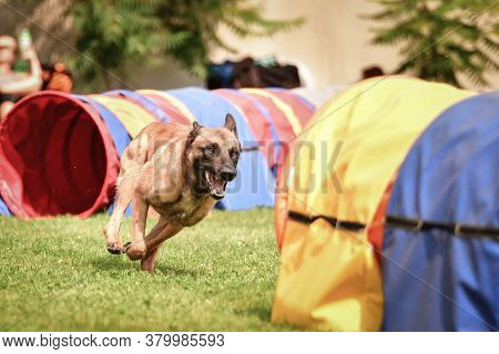 Belgian Malinois Is  In Agility Tunel On Ratenice Competition. Amazing Day On Czech Agility Competit