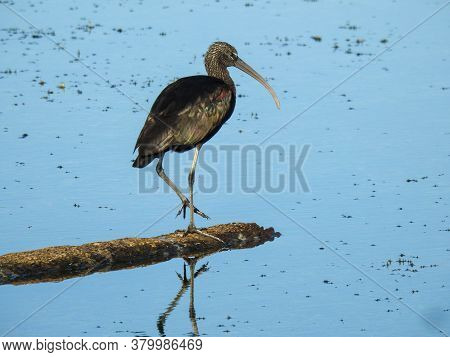 Immature Glossy Ibis In The Orlando Wetlands, Florida