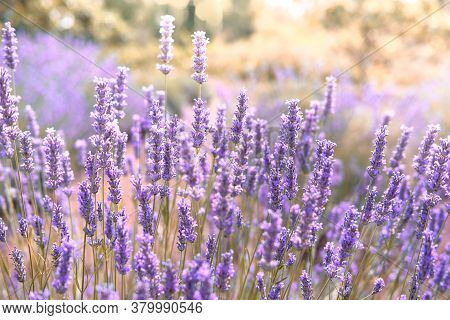 Closeup On Mountain Lavender On Hvar Island, Croatia With Flare