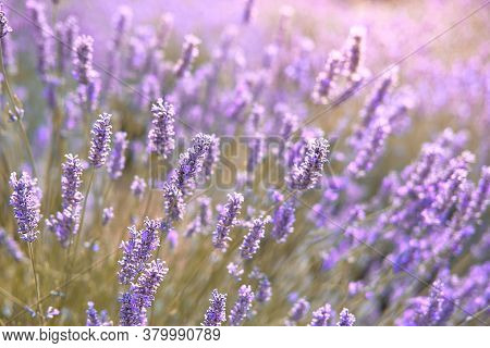 Close-up On Mountain Lavender On Hvar In Croatia