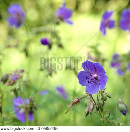 Floral Background Of Flowers Geranium Pratense (meadow Cranesbill)