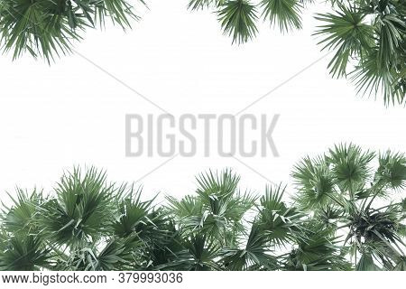 Fan Palm Green Leaves Or Coconut Fronds Background Of The Tropical Natural Which Has Jungle Green Fo