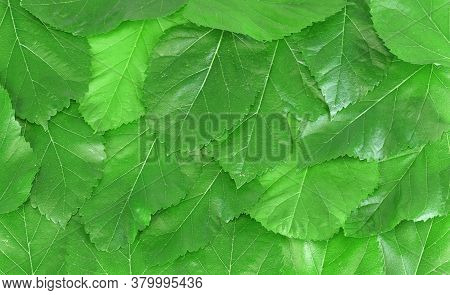 Fresh Green Mulberry Leaves As Nature Background