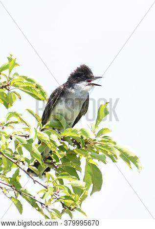 Cute Eastern Kingbird Standing On Tree Branch
