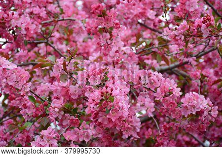 Profusion Of Pink Flowering Crab Apple Blossoms At Concordia Park In Roseville, Minnesota.
