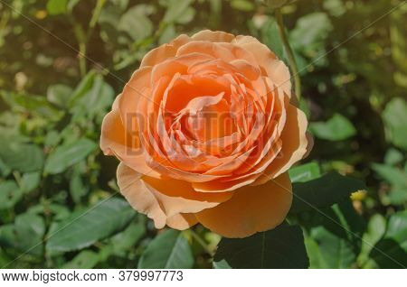 Orange Beautiful Blooming English Rose Lady Of Shalott