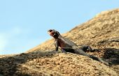 Monitor Lizard on Rock in Serengeti Tanzania poster