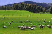 Sheep flock in new Zealand Nov 2007 poster