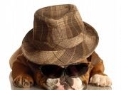 english bulldog wearing fedora and dark sunglasses poster