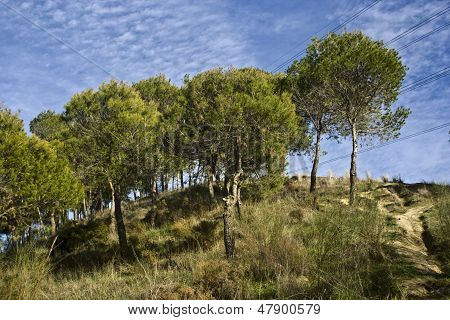 Pine Forest, Under A Sky In The Mountains