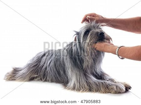 Grooming Of Pyrenean Sheepdog