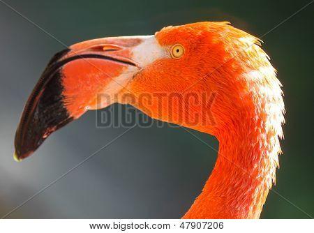 Red Flamingos