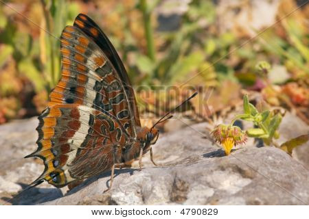 A Two Tailed Pasha (Charaxes jasius) butterfly standing over a rock. poster