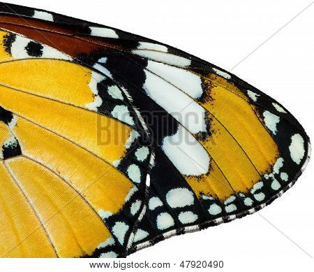 Texture Of Plain Tiger Butterfly