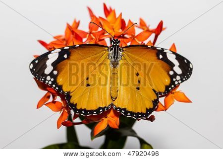 Plain Tiger Hanging On Ixora Flower